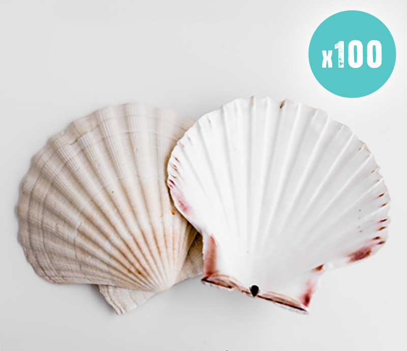 100 Scallop Shells for food