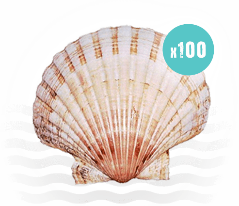 100 Scallop Shells
