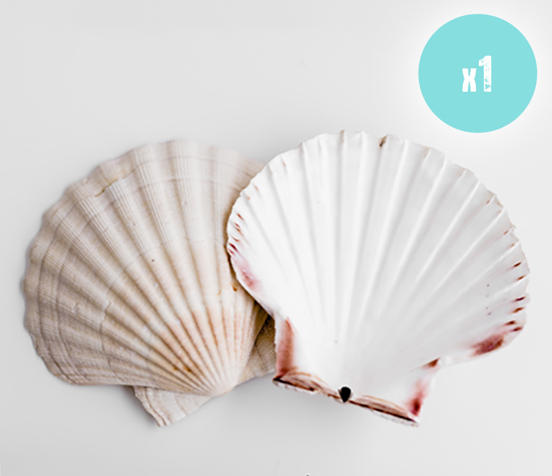 1 Scallop Shell