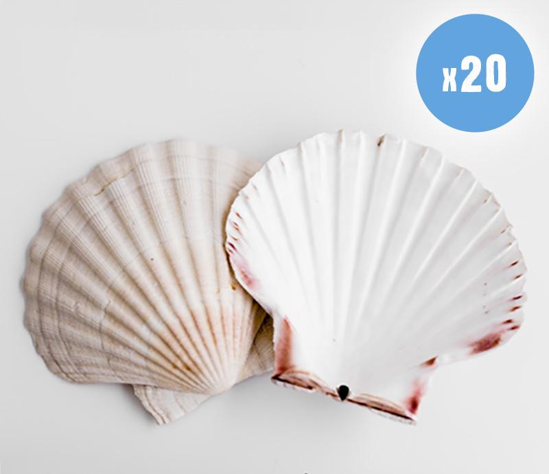 20 Food grade scallop shells