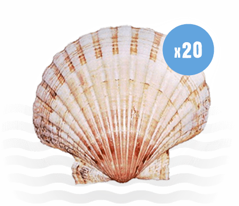 20 king Scallop Shells