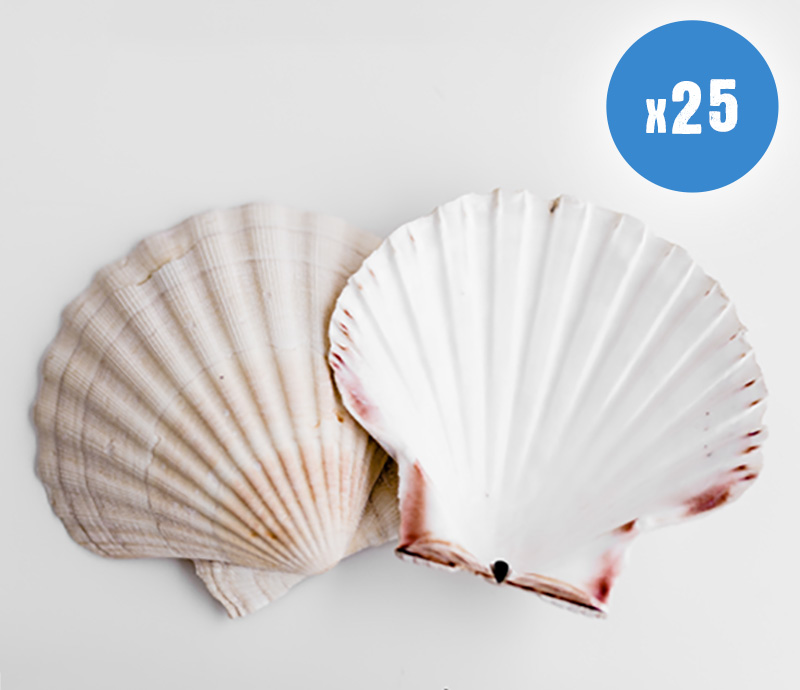 25 Natural Scallop Shells for sale