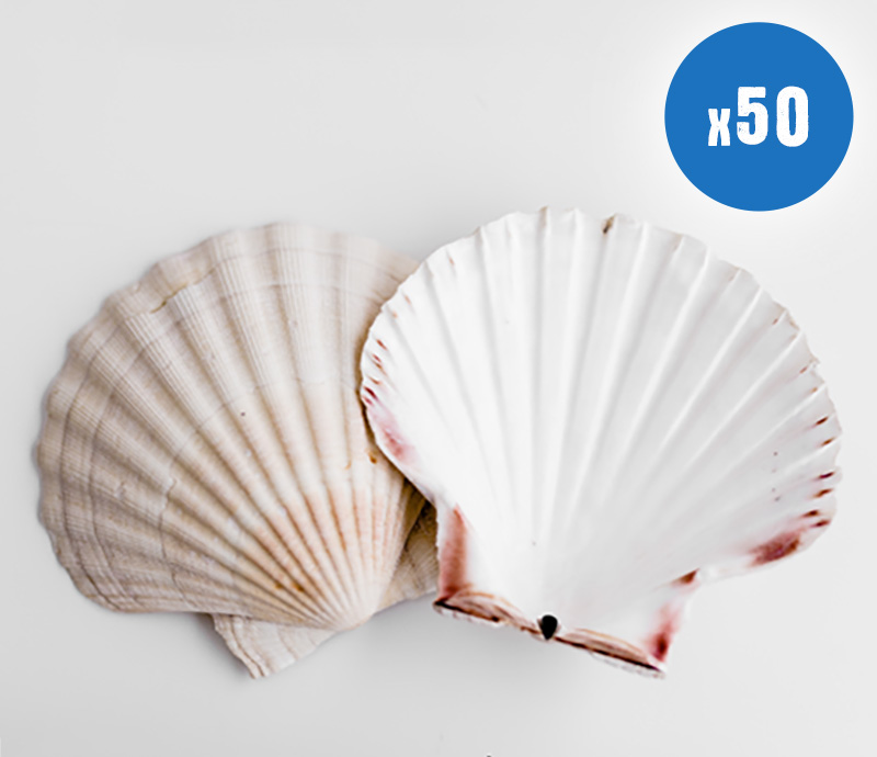 50 White Scallop Shells for Crafting