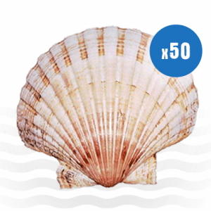 50 Atlantic Scallop Shells