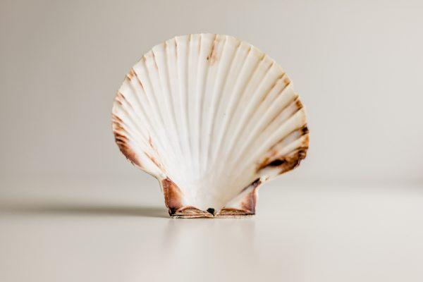 1 Food grade scallop shell